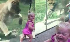Sư tử trong vườn thú vồ bé gái qua cửa kính
