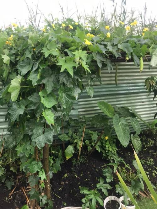 Rau trong vườn nhà Ốc có nhiều loại, từ rau ăn lá như cải bẹ xanh, cải trời, cải ngọt, mùng tơi, rau dền đến rau gia vị như rau thơm, húng quế, xá xị, xà lách... Rauăn trái cũng phong phú với cà tím, dưa leo, mướp, khổ qua, cà chua, ớt hiểm, đậu bắp...