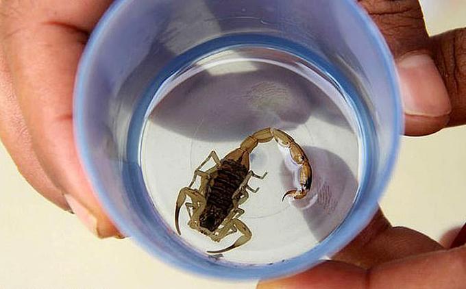 Con bọ cạp vàng chứa chất kịch độc được gắp ra khỏi tã của bé gái Sofia ở Brazil. Ảnh: Carter News Agency.