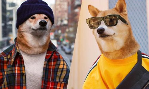 Chú chó kiếm 180.000 USD mỗi năm nhờ làm mẫu trang phục