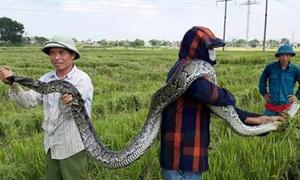 Nông dân Thanh Hóa bắt được con trăn nặng 25 kg trên đồng lúa