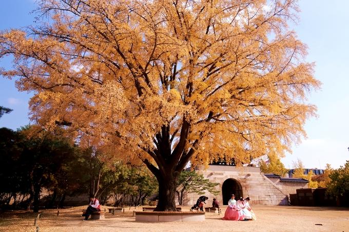 <p> <strong>Cung Gyeongbok</strong> thu phí 3.000 won (khoảng 60.000 đồng/người) mỗi lượt tham quan. Tuy nhiên nếu bạn mặc hanbok để chụp ảnh (bất kể thuê ở tiệm nào) thì đều được miễn phí tham quan. Đây là một trong những nơi có cây ngân hạnh già đẹp nhất Seoul, mùa thu lá vàng rực, sáng cả một góc.</p>