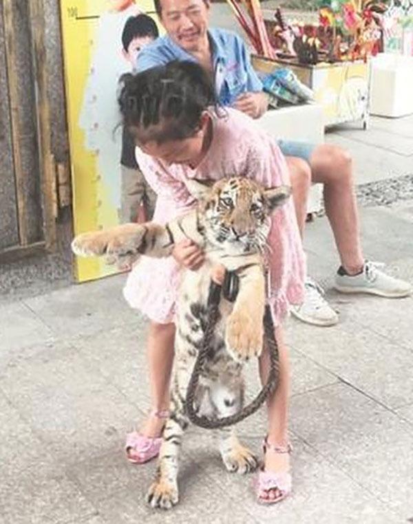 Xiaojing dắt hổ Huniu đi dạo bằng một sợi dây xích mỗi ngày, sau giờ học, ở vườn thú Tuyền Châu, tỉnh Phúc Kiến, Trung Quốc. Ảnh:qzwb.com.