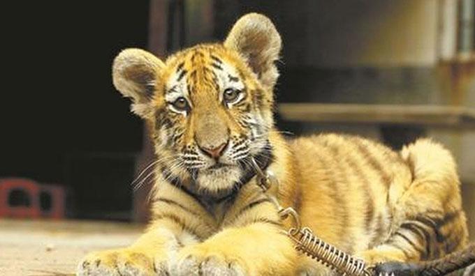 Hổ Huniu (3 tháng tuổi) hiện được chăm sóc ở vườn thú Donghu, thành phố Tuyền Châu, tỉnh Phúc Kiến, Trung Quốc. Ảnh:qzwb.com.