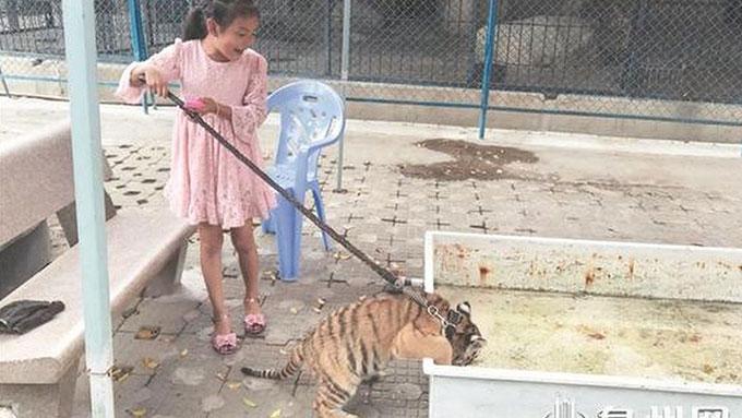 Cô bé Xiaojing (9 tuổi) chăm sóc và chơi đùa với nàng hổ con Huniu (3 tháng tuổi) ở vườn thú Tuyền Châu, tỉnh Phúc Kiến, Trung Quốc. Ảnh: qzwb.com.