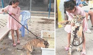 Bé 9 tuổi làm bạn với hổ, dắt dây xích đi chơi mỗi ngày