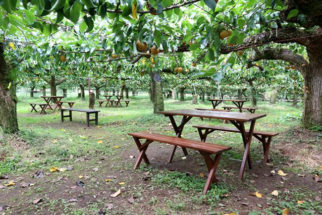 Vườn lê trĩu quả ở Karatachi Orchards.