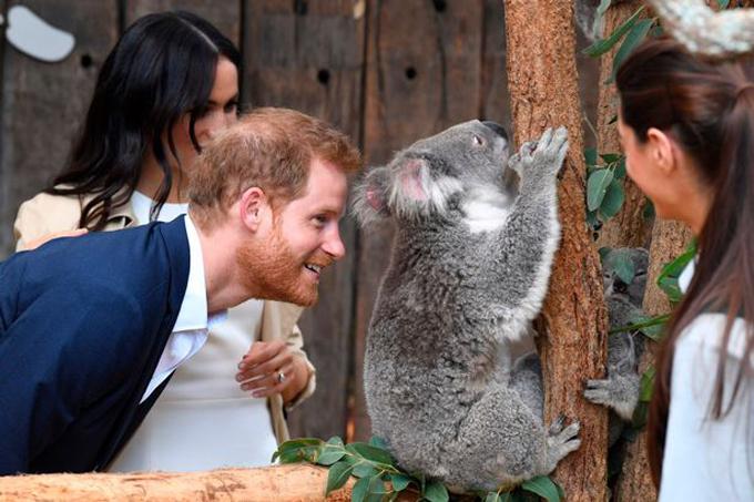 Harry tỏ ra nhiệt tình và hứng thú với con gấu túi. Hoàng tử 35 tuổi gãi lưng, trêu đùa con vật.