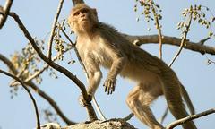 Cụ ông 72 tuổi bị bầy khỉ ném đá đến chết
