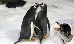 Đôi cánh cụt đồng tính thay nhau chăm sóc con non