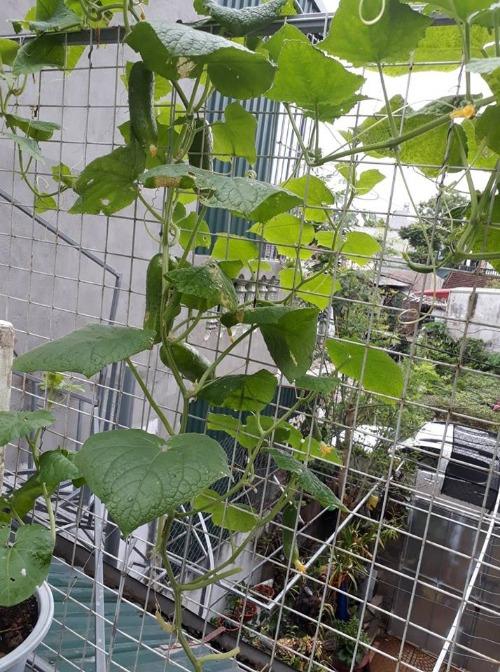 Theo chị Thanh, để cây phát triển tốt, khâu quan trọng nhất vẫn là làm đất. Công thức trộn đất của chị gồm:2 phần đất màu + 1 phần phân trùn quế + 1 phần nhỏ sơ dừa + 1 nắm nhỏ phân NPK + 1 nắm nhỏ vôi. Và lúc nào cũng phải chú ý cho đất tơi xốp rau mới lớn được. Để diệt sâu bệnh, chịlàm làm dung dịch rượu + gừng + ớt ngâm khoảng 1 tháng rồi phun trực tiếp vào rệp ăn lá cải, bám trên lá dưa leo, cà tím. Hoặc bắt ruồi vàng bằng tay. Ngoài ra, việc trồng rau trên tầng mái còn phụ thuộc vào thời tiết. Hôm nào biết trước dự báo thời tiết, anh chị chủ động dùng lưới che mái tôn thì bảo vệ được nhưng chậu rau, nhưng có khi bị hỏng hết do những trận mưa lớn bất ngờ.