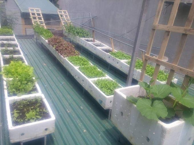 Ngoài cánh cổng rau và các chậu được đặt xung quanh nhà, anh Công còn thiết kế một khu vườn trên mái tôn với những khay rau xếp hàng tăm tắp. Mùa nào thức nấy, anh chị trồng đủ loại rau củ, gia vị như: rau củ cải, cải canh, cải ngọt, cải cầu vồng, rau muốn, chùm ngây, mùng tơi, xà lách, kinh giới... Có đợt anh chị Công - Thanh còn trồng cả khoai tây. Một góc vườn được dùng để trồng cây leo giàn như dưa chuột, đậu ván, su su, bầu sao...