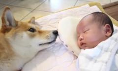 Chú chó dỗ dành, canh giấc ngủ cho em bé