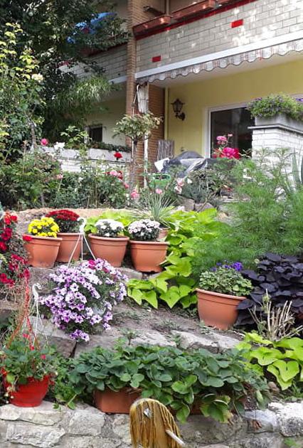 Hai cây khoai lang lá màu xanh và màu tím ở góc vườn nhà chị Trang.