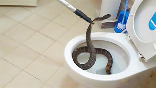 Con rắn bị bắt và thả về rừng sau khi tấn công người đàn ông Thái Lan. Ảnh minh họa: National Geographic.