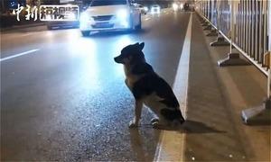 Chó ngồi chờ 80 ngày trên đoạn đường bà chủ qua đời