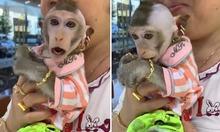 Khỉ ở Kiên Giang được cắt tóc sành điệu, đeo vàng khắp người