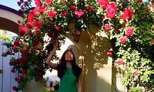 Giàn hồng 14 năm phủ kín cổng nhà nữ giám đốc Việt ở Hungary