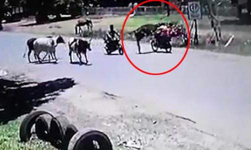 Bò phi thân đạp người văng khỏi xe máy