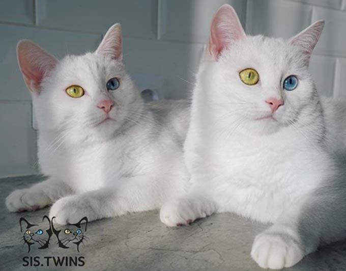 Theo Oddity Central, nhiều người hâm mộ tin rằng Abyss và Iriss là giống mèo Angora hoặc Thổ Nhĩ Kỳ thuần chủng nhưng thực ra chúng là con lai của một con mèo nhà màu trắng và một con mèo lông đen trắng.