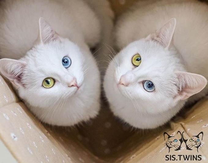 Đôi mắt khác màu của hai con màu khiến nhiều người yêu động vật mê mẩn.