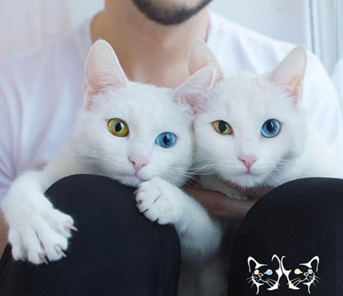 Mặc dù Iriss và Abyss là hai con mèo 3 tuổi giống hệt nhau, tính cách của chúng hoàn toàn khác biệt. Iriss dễ tính hơn trong khi Abyss tỏ ra chảnh hơn, chỉ thích chơi đùa, giao tiếp với ai khi nó muốn. Tuy nhiên, cả hai đều có vẻ thích chụp ảnh.