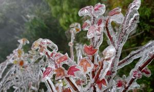 Cây cỏ Mẫu Sơn lung linh trong băng giá