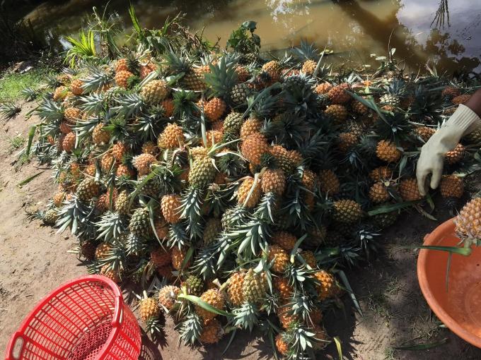Đầu năm đi chợ quê ở Kiên Giang hái khóm ăn tại chỗ - 1