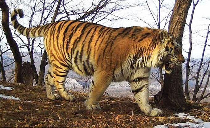 Hổ Tikhon (15 tuổi) sống trong tự nhiên trước khi bị thương. Ảnh: The Siberia.