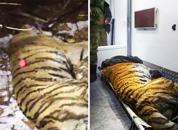 Con hổ Tikhon được bắn súng gây mê và đưa đi chữa trị. Ảnh:The Siberia.
