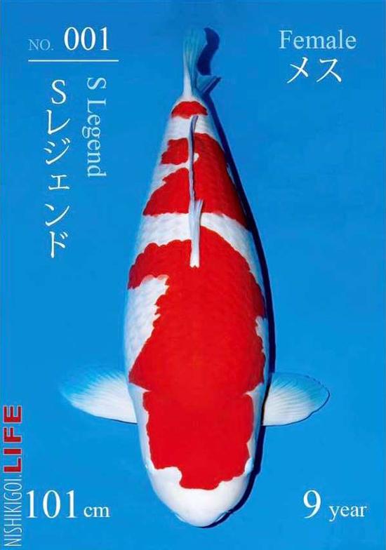 Con cá koi dài 101 cm, 9 tuổi, được bán với giá 1,8 triệu USD hồi tháng 12/2018. Ảnh: Sakai Koi Farm.
