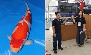 Cá koi đắt nhất thế giới giá 1,8 triệu USD