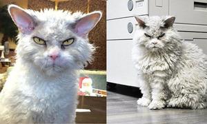 Chú mèo nổi tiếng Instagram vì vẻ mặt cáu kỉnh