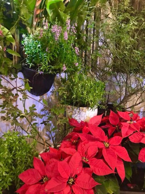 Những quả châu và chậu hoa trạng nguyên không thể thiếu trong lễ Noel.