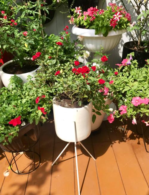 Chị Hiền trồng nhiều loại hoa trong góc vườn khoảng 30 m2 này; tuy nhiên, hoa hồng chiếm số lượng áp đảo.Với khí hậu của Sài Gòn,hoa dễ phát sinh nhiều bệnh như bọ trĩ, đốm lá... nên chị phải thường xuyên kiểm tra đểloại bỏ lá bệnh, cắt tỉa và xịt dung dịch tỏi, gừng, ớt, rượu trắng... Đặc biệt, chị pha thêm lòng trắng trứng vào dung dịch này để xịt cho câyvì lòng trắng trứng giúp dung dịch bám vào bền mặt lá, thân cây lâu hơn.