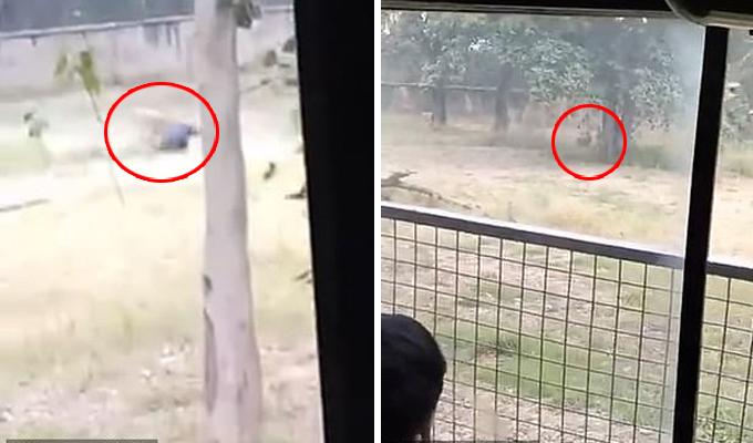 Người đàn ông bị sư tử cắn chết trong vườn thú Chhatbir, Ấn Độ. Ảnh: News Crunch India.