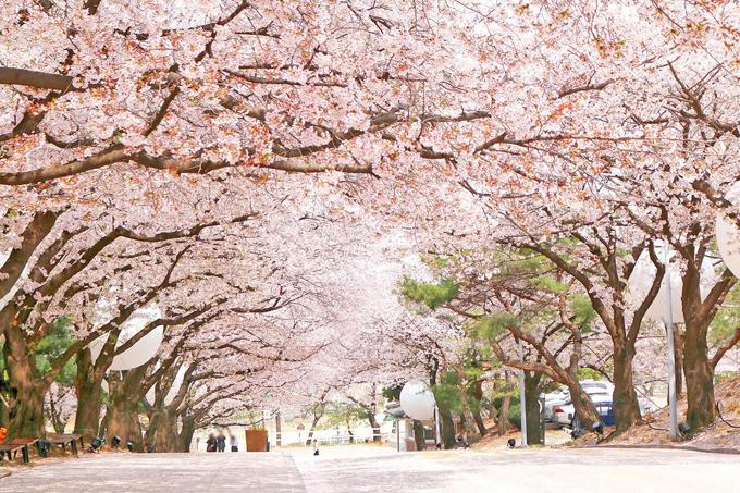 Dự báo thời điểm hoa anh đào nở ở 8 điểm ngắm hoa nổi tiếng Hàn Quốc - 4