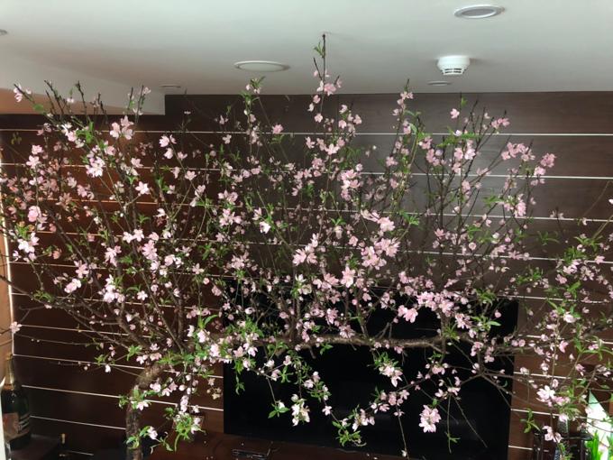 Hết mỗi lứa hoa, chị thường tuốt bỏ các bông đã héo, thay nước để hoa nở đợt mới. Những đợt sau này theo chị An, bông hoa chỉ nhỏ hơn, ít và nhạt màu hơn, còn vẫn tươi rói, thậm chí cành còn nảy lộc đâm chồi.