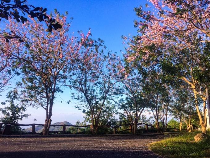 Đường hoa anh đào đua nở tại Hồ Mây Park.