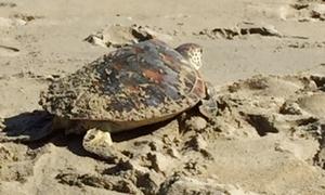 Rùa xanh nặng 8 kg được thả về biển