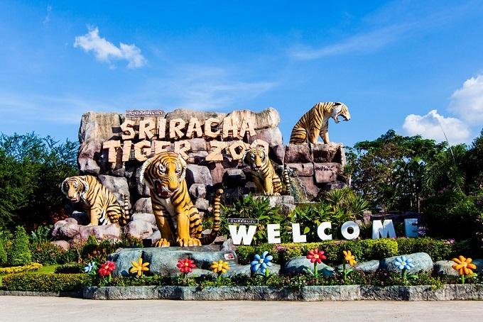 Là một vườn thú ở Sri Racha - vùng ngoại ô của Pattay - công viên Tiger Zoo là một trong những điểm tham quan được nhiều du khách nước ngoài biết đến tại Thái Lan. Công viên có diện tích khoảng 400.000m2, nơi đang chăm sóc cho hơn 200 chú hổ và là đại gia đình của cá sấu, voi và khỉ. Tiger Zoochia làm bốn khu vực chính: khu sinh sống của loài hổ, khu biểu diễn tài năng, khu cá sấu và khu cho các loài động vật khác. Trong đó,khu sinh sống của loài hổlà nơi thu hút du khách nhiều nhất. Không nhữngtận mắt thấy sinh hoạt của những chú hổ to lớn, du khách cònđược đùa giỡn, choăn và chụp hình với hổ có người quản lý đi theo.