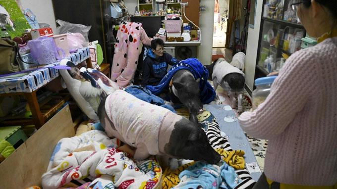 4 con lợn trong căn hộ chung cư của Tsai và bạn cùng nhà. Ảnh: AFP.