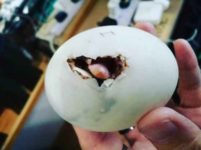 Khoảnh khắc chui khỏi vỏ của Daisy từ quả trứng đáng lẽ đã thành trứng vịt lộn. Ảnh:Instagram.