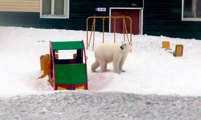 Những con gấu lang thang trong khu vực vui chơi dành cho trẻ nhỏ trước các khu chung cư trong thị trấn. Ảnh: Mirror.