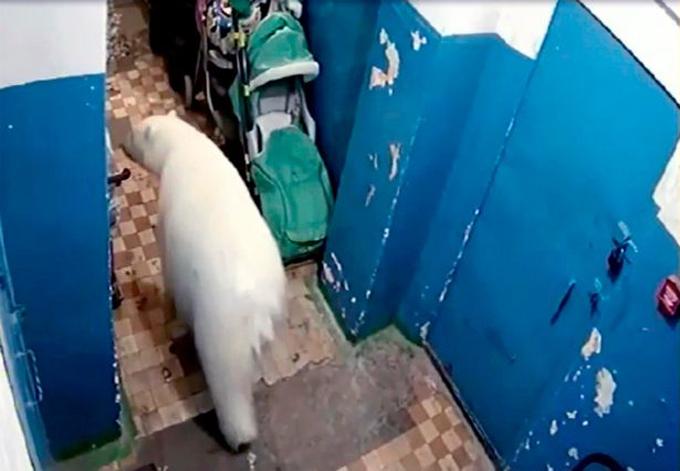 Một con gấu thản nhiên đi vào bên trong một khu chung cư. Ảnh: Mirror.