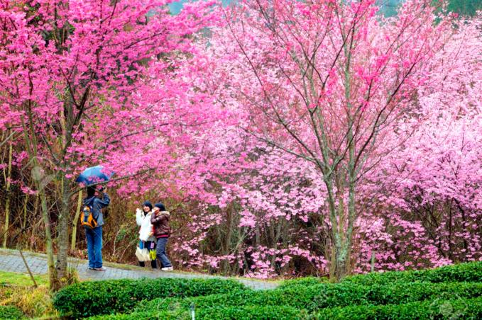 Nông trợi Wuling ngập trong sắc hoa anh đào tháng 2. Ảnh: 123rf