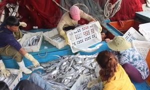Ngư dân trúng mẻ cá hố 17 tấn trong chuyến ra khơi đầu năm