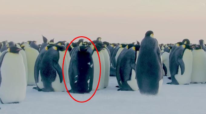 Con chim cánh cụt bụng đen hiếm có trong đàn cánh cụt hoàng đế ở Nam Cực. Ảnh: BBC.