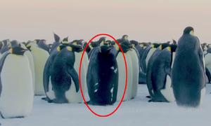 Chim cánh cụt đen tuyền hiếm có ở Nam Cực