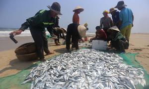 Kéo lưới bắt hàng tấn cá ở bờ biển Quảng Nam